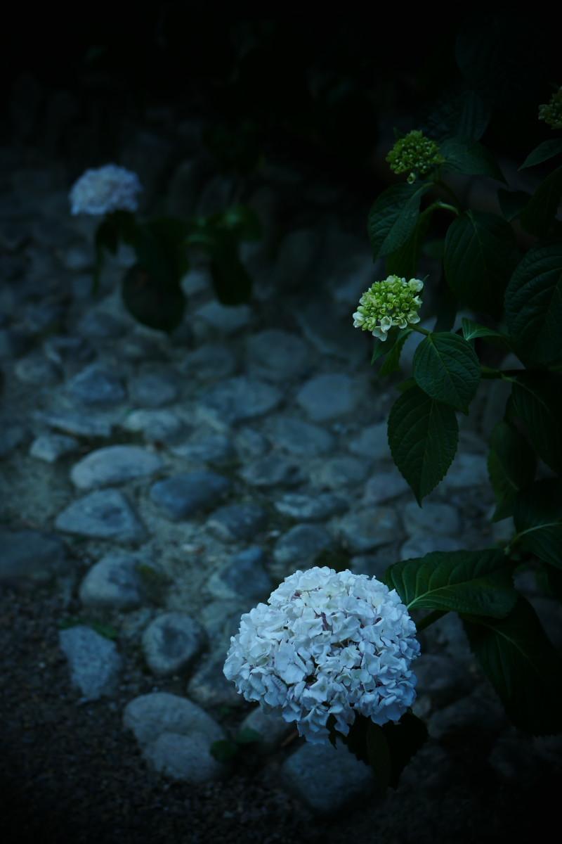 万博記念公園   6/19 紫陽花_f0021869_21204073.jpg