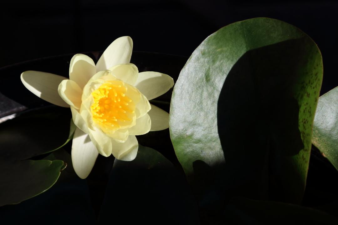 睡蓮の花が目覚める時刻_b0190710_23245285.jpg