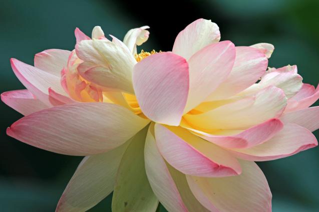 蓮の花_c0104227_18301009.jpg