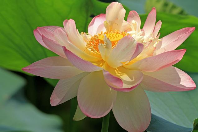 蓮の花_c0104227_18303056.jpg