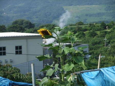 向日葵..開花中.._b0137932_17043095.jpg