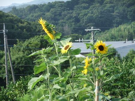 向日葵..開花中.._b0137932_17045888.jpg