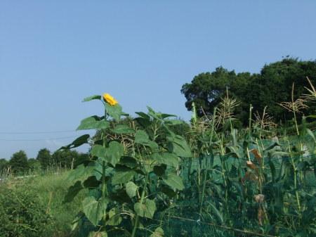 向日葵..開花中.._b0137932_17053527.jpg