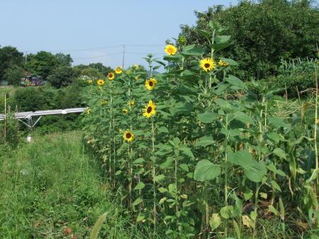 向日葵..開花中.._b0137932_17065110.jpg