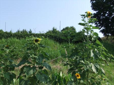 向日葵..開花中.._b0137932_17074160.jpg