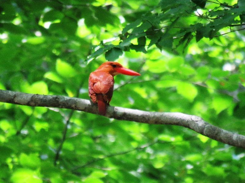 野鳥トレ 89 アカショウビン_b0227552_19430733.jpg