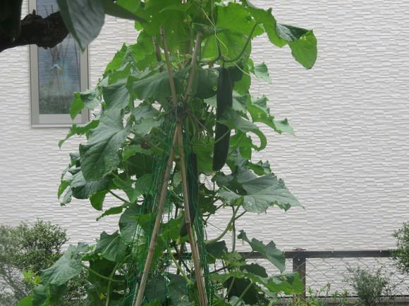 トマト と キュウリ その2_d0331729_15205517.jpg