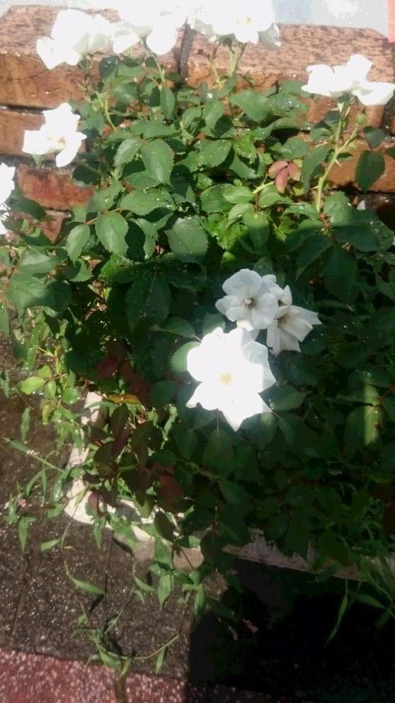 夏に咲くバラ_d0155439_21551484.jpg