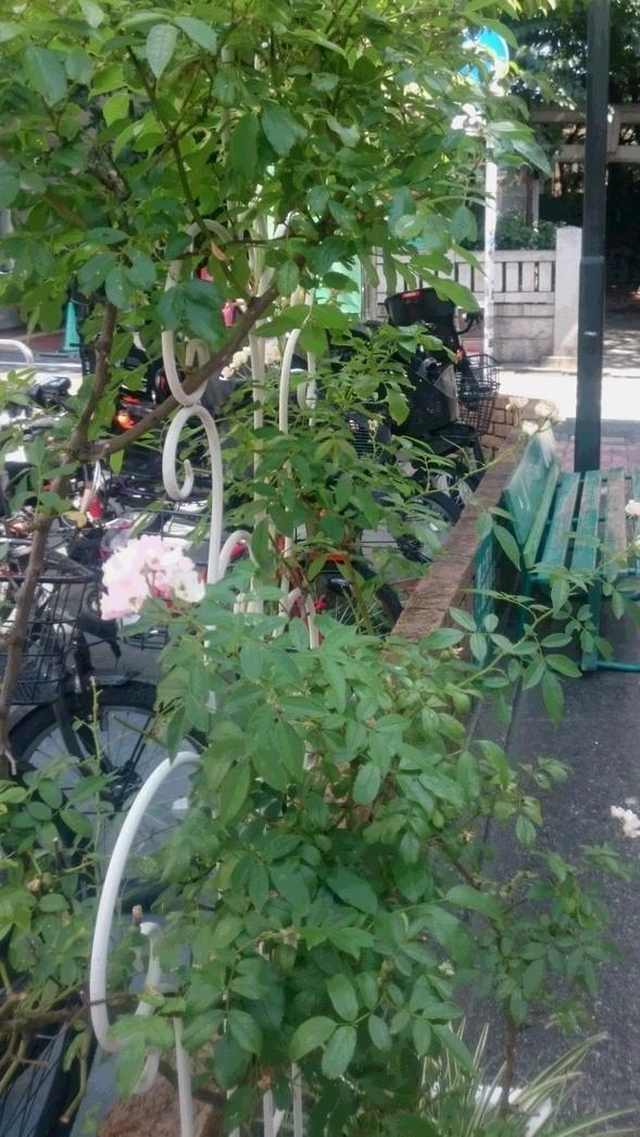 夏に咲くバラ_d0155439_21553647.jpg