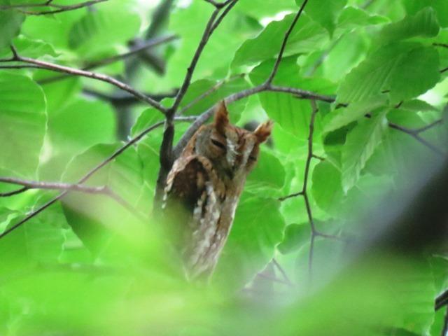 野鳥トレ90 赤色(セキショク)コノハズク_b0227552_19082346.jpg