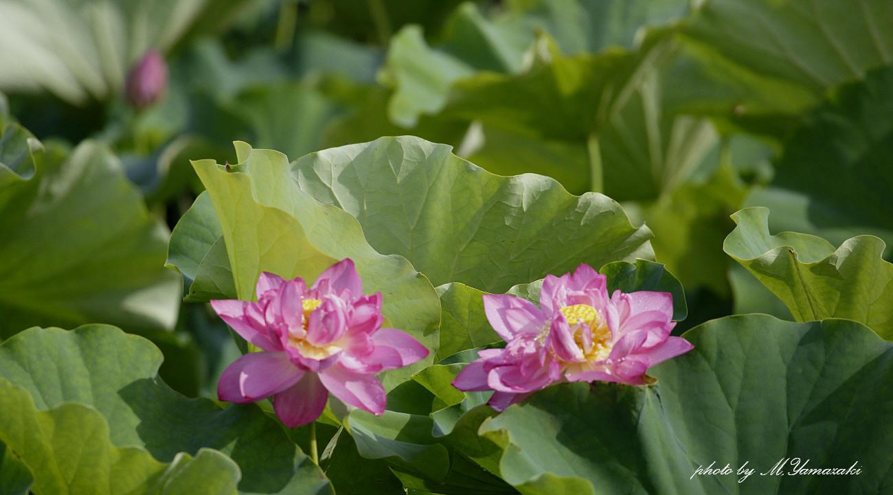 八重咲きの蓮とクサシギ_c0217255_07061921.jpg