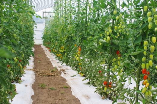 収穫が始まったミニトマト_c0110869_13263771.jpg