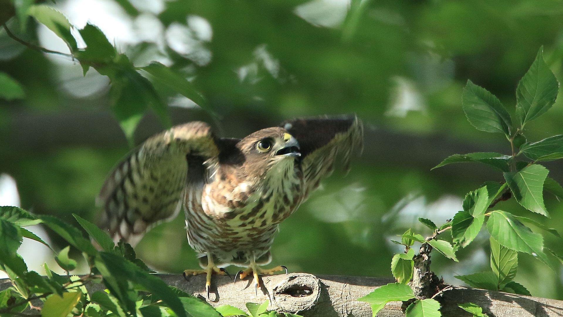 ツミ幼鳥の飛び出し_f0105570_21495546.jpg
