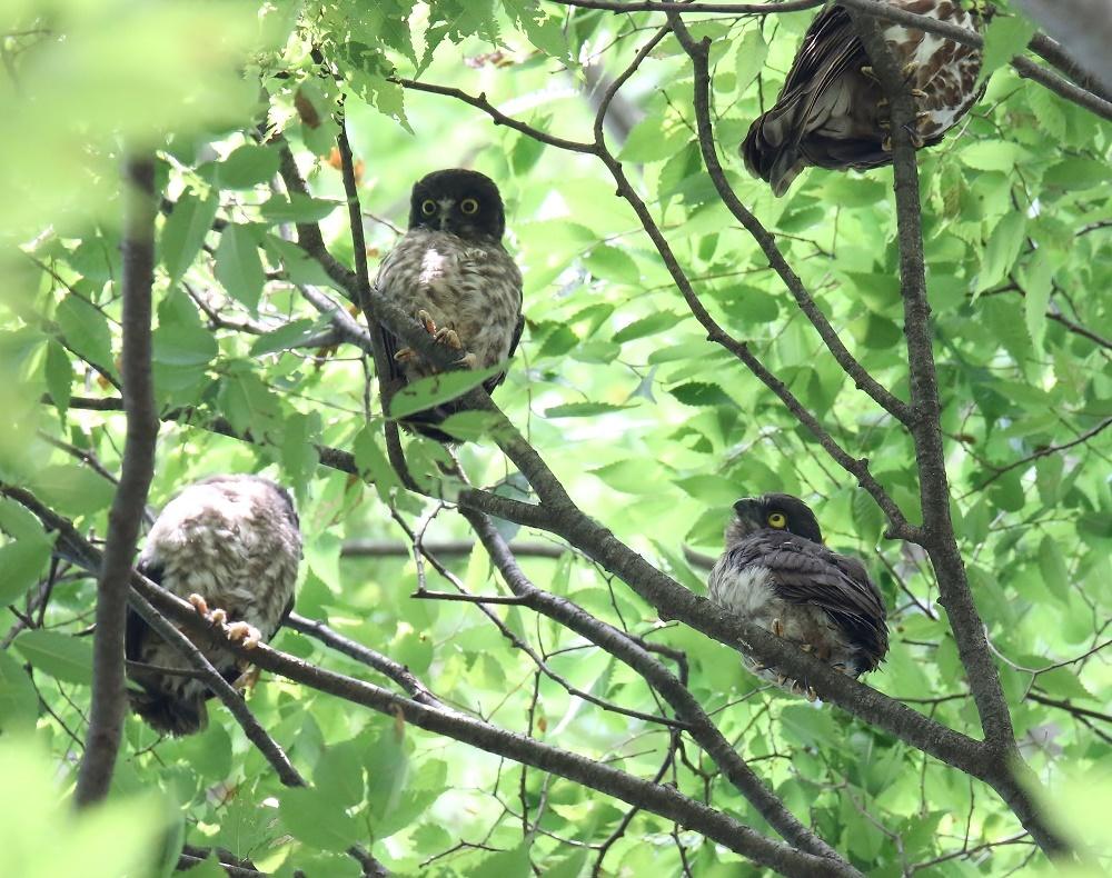 1羽増えてヒナ3羽になりました、_f0305401_18250893.jpg