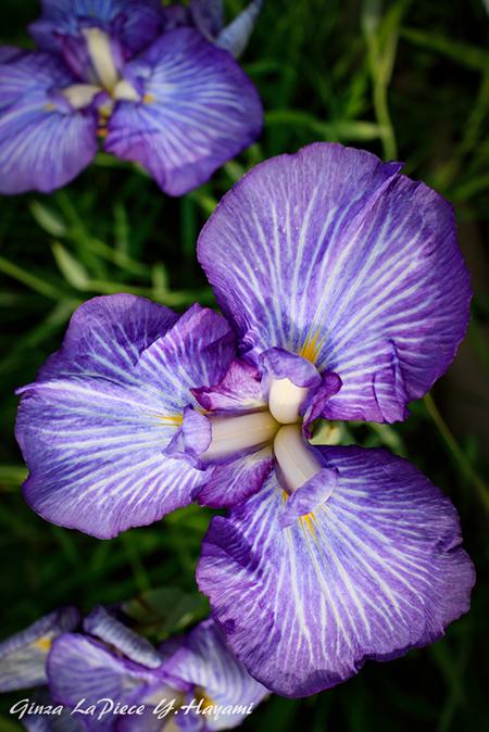 花のある風景 紫のハナショウブ_b0133053_00001970.jpg