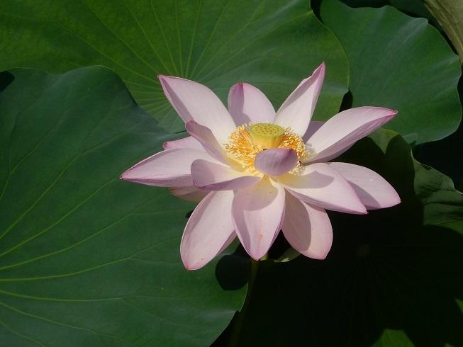 夏の朝、ハスの花_e0175370_08121861.jpg