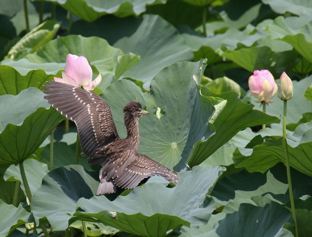 蓮の花に、、_f0305401_16091410.jpg