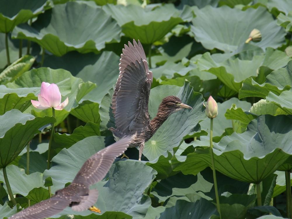 蓮の花に、、_f0305401_16092658.jpg