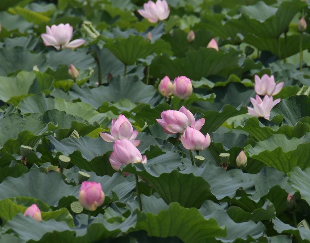 蓮の花に、、_f0305401_16093700.jpg