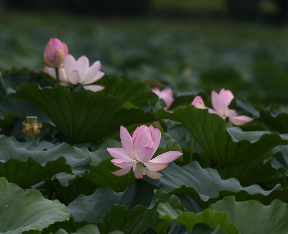 蓮の花に、、_f0305401_16094414.jpg