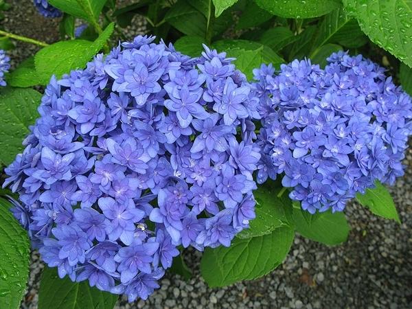 紫陽花 リース_f0129726_20580963.jpg