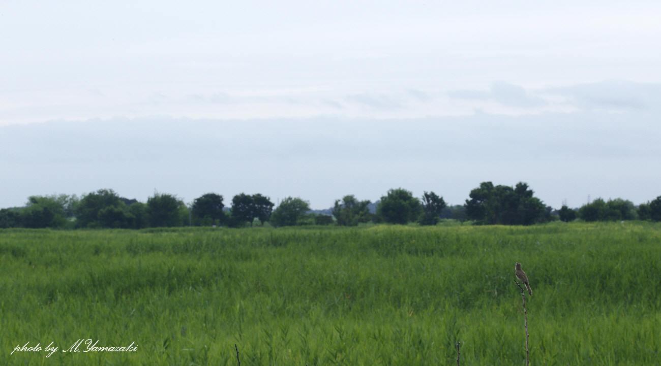 コヨシキリの居る風景_c0217255_17565118.jpg