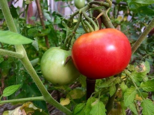 あまーいトマトが実りました!_e0251361_22323137.jpg