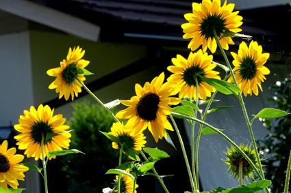 ヒマワリは夏の花_b0145296_8461939.jpg