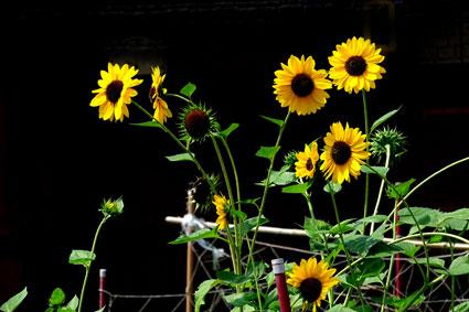 ヒマワリは夏の花_b0145296_8463124.jpg