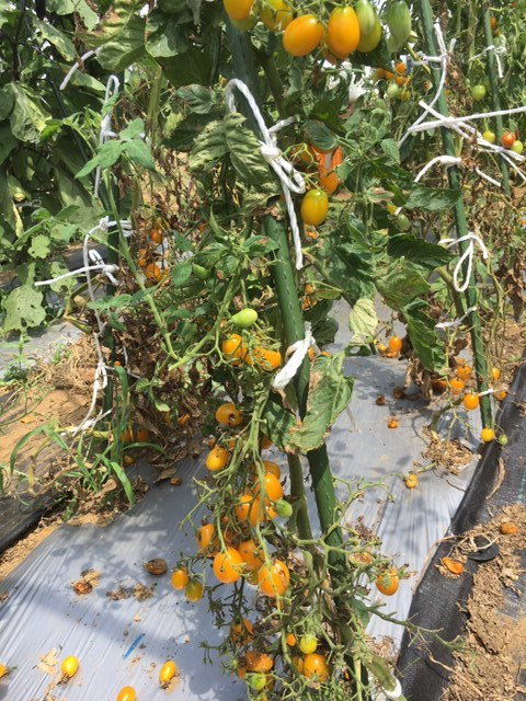 今年は雨量少なく猛暑の日が多いので パプリカの生りが良いっです_c0222448_16575447.jpg