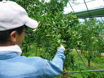 究極の柑橘『せとか』 平成30年度の収穫に向け、着果後の様子を現地取材_a0254656_17321597.jpg