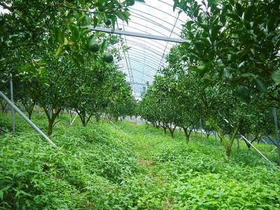 究極の柑橘『せとか』 平成30年度の収穫に向け、着果後の様子を現地取材_a0254656_17402946.jpg