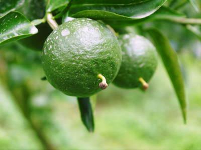 究極の柑橘『せとか』 平成30年度の収穫に向け、着果後の様子を現地取材_a0254656_17440852.jpg