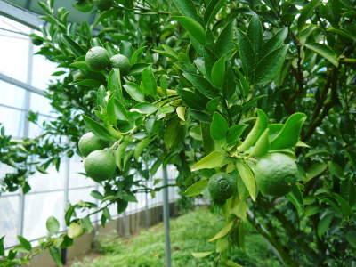 究極の柑橘『せとか』 平成30年度の収穫に向け、着果後の様子を現地取材_a0254656_18011638.jpg