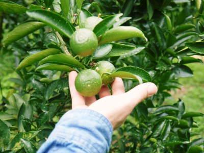 究極の柑橘『せとか』 平成30年度の収穫に向け、着果後の様子を現地取材_a0254656_18055843.jpg