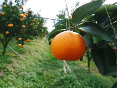 究極の柑橘『せとか』 平成30年度の収穫に向け、着果後の様子を現地取材_a0254656_18112380.jpg