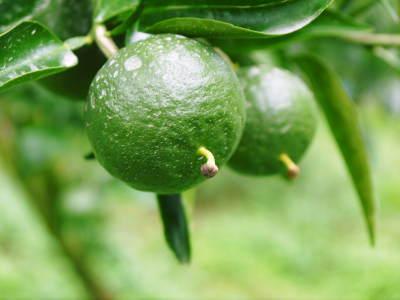 究極の柑橘『せとか』 平成30年度の収穫に向け、着果後の様子を現地取材_a0254656_18142389.jpg