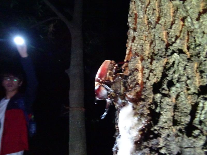 うみべの森でカブトムシ探し&ウミホタル観察・・・ZooCanくらぶ_c0108460_00030117.jpg