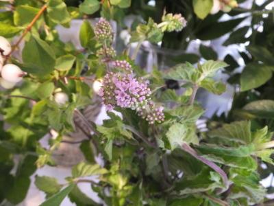 オークリーフ(青い秋色紫陽花)_f0049672_15320220.jpg