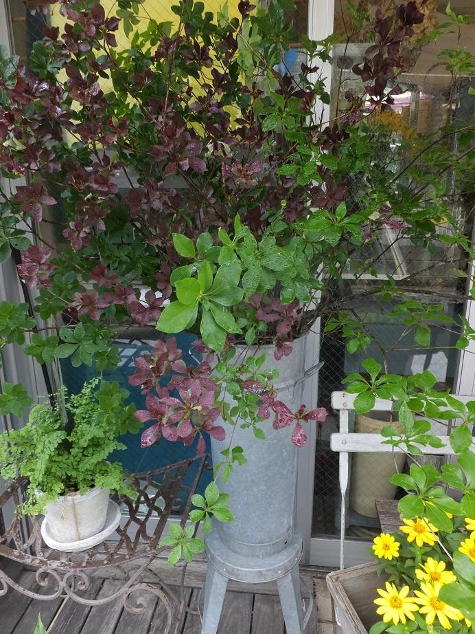 オークリーフ(青い秋色紫陽花)_f0049672_15330586.jpg