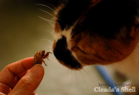 セミの抜け殻と姉妹猫_b0253205_04564654.jpg