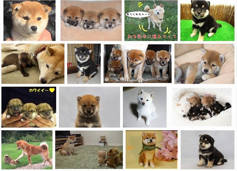 柴犬も可愛いね~_e0181908_15575143.jpg