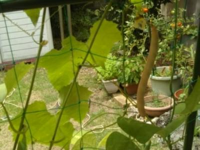 シカクマメが♪トマトは終りか?・・・自宅鉢植え_c0330749_22141512.jpg