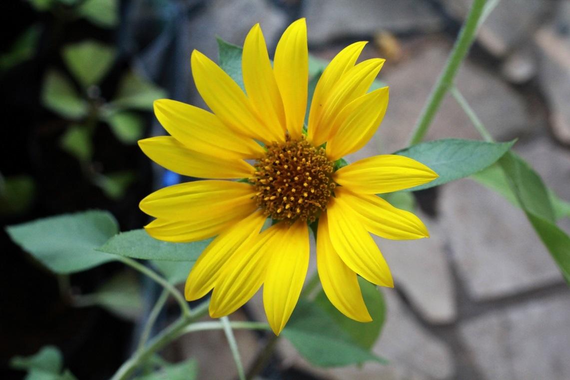 ヒマワリの花の大きさ_a0107574_22361744.jpg