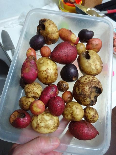 ジャガイモの収穫と秋冬に向けて始動!_c0369304_21534917.jpg