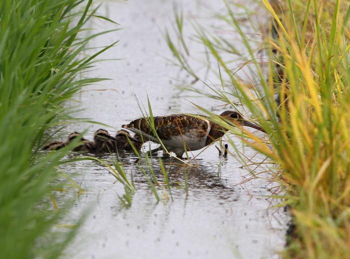 タマシギの雛が巣立ちました。_f0239515_18565688.jpg