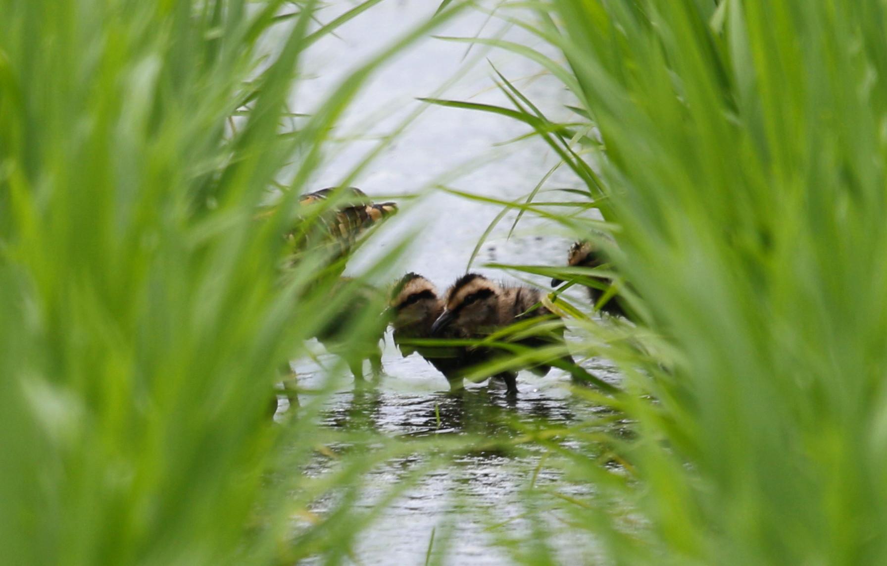 タマシギの雛が巣立ちました。_f0239515_1901194.jpg