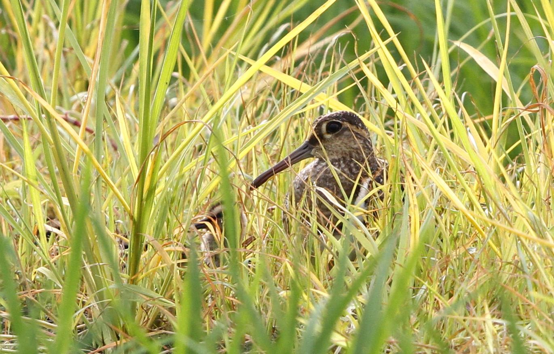 タマシギの雛が巣立ちました。_f0239515_19221612.jpg