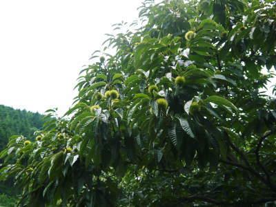 利平栗 栗の王様『利平栗』 今年も無農薬で育てます!着果後の様子!まもなく生理落下です!_a0254656_18064174.jpg