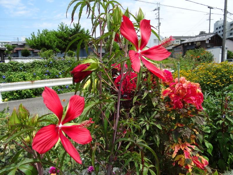 暑い最中に花壇作業_c0108460_17074764.jpg